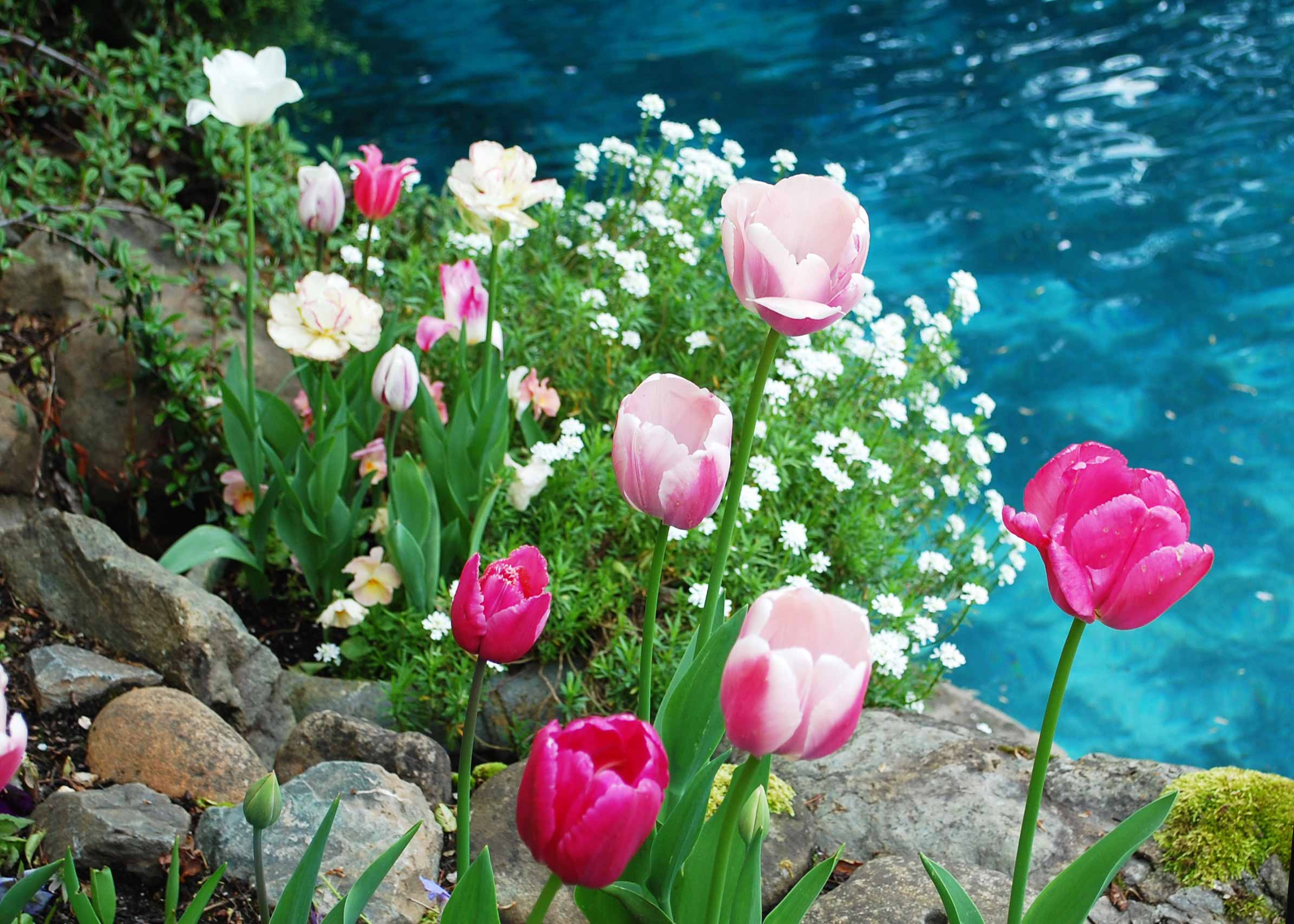 tulips and pond